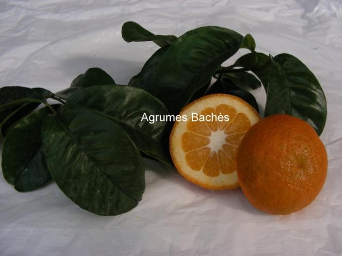 Citrus aurantium  'Bouquet de fleurs'