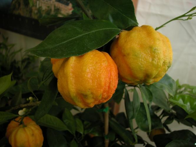 Citrus aurantium  'Striata'