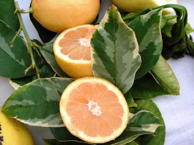 Citrus limon  'variegata alba'