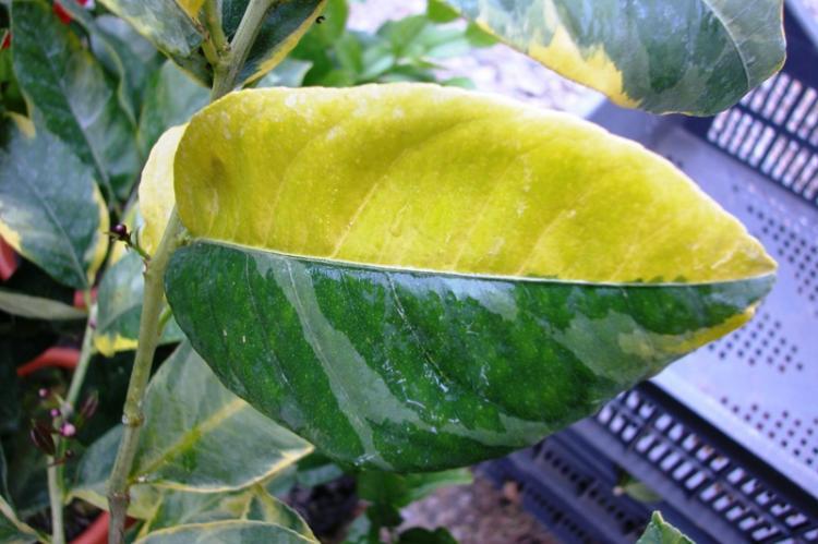 Citrus limon  'variegata aurea'