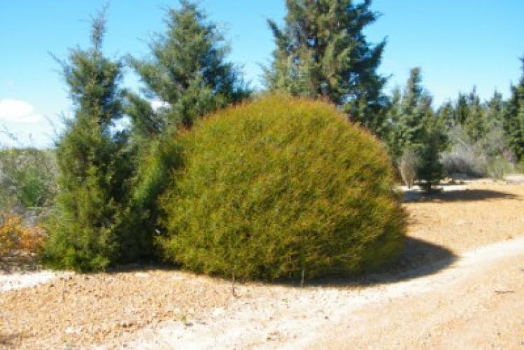 Acacia erinacea