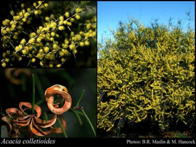 Acacia colletioides