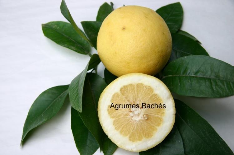 Citrus paradisi  'Redblush'