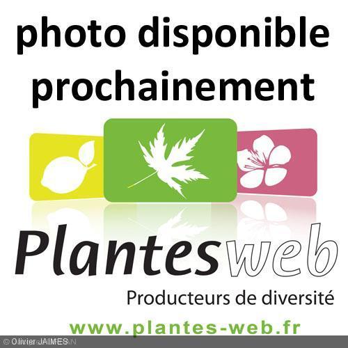 Fraxinus papillosa