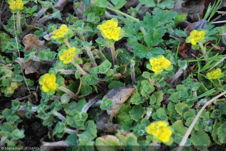 Chrysosplenium davidianum dorine achat vente le jardin d 39 eau for Ventes de plantes par internet