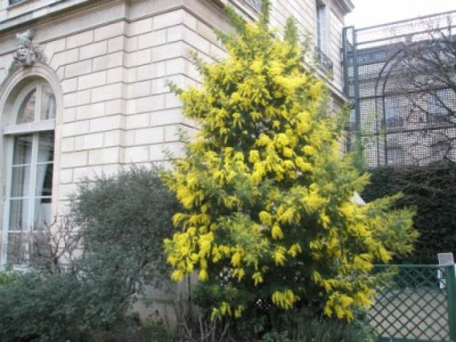 Acacia decurrens  'Tournaire'