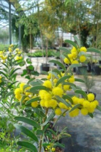 Acacia halliana