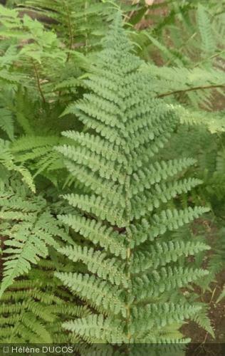 Dryopteris filix-mas var. barnesii
