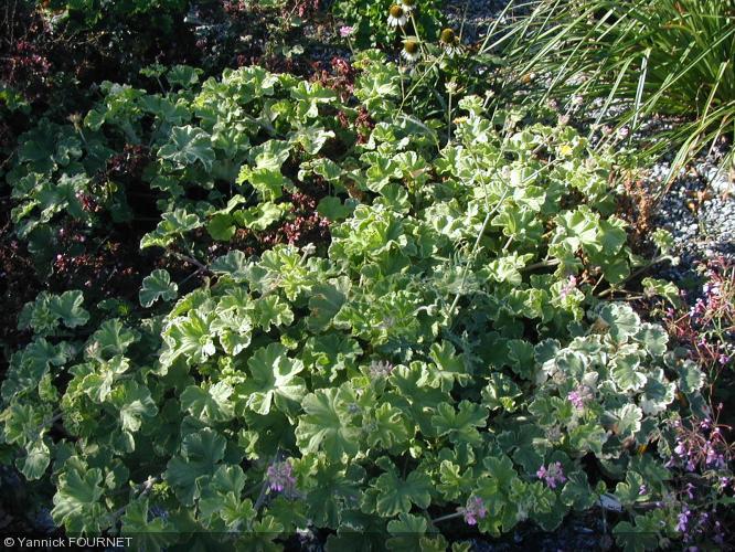 Pelargonium  'Atomic Snowflake'