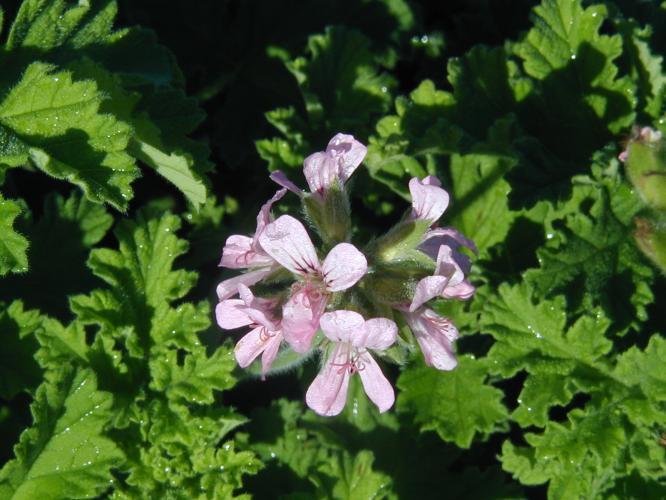 Pelargonium  'Attar Of Rose'