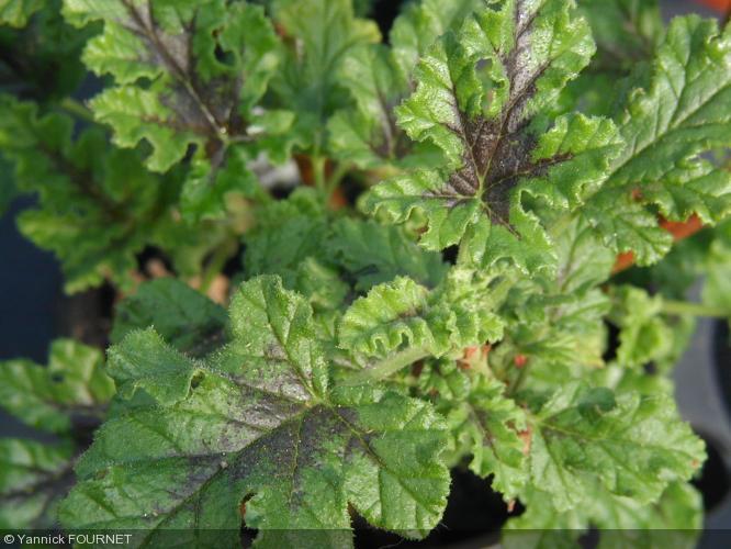 Pelargonium quercifolium  'Royal Oak'