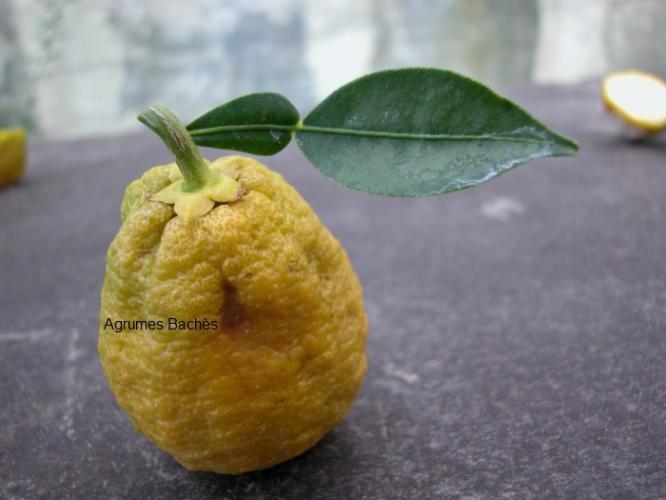Citrus ichangensis  'Ichang Papeda Blanc'