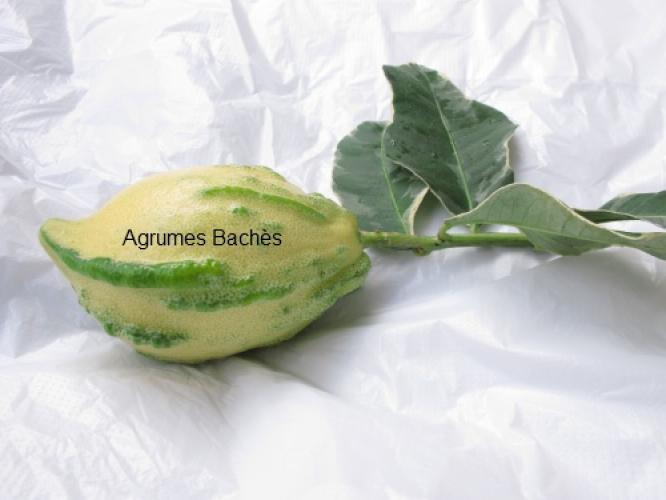 Citrus medica  'variegata alba'