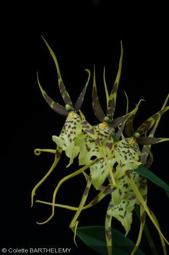 Brassia  'Eternal Wind'