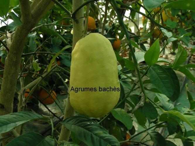 Citrus medica  'Humpang'