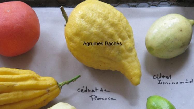 Citrus medica  'florentina'