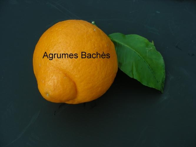 Citrus medica  'De Florence'