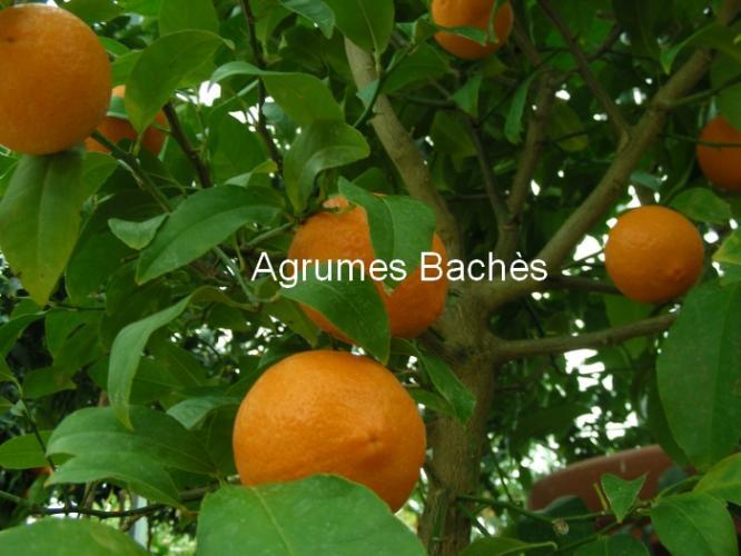 Citrus limonia  'Volkameriana'