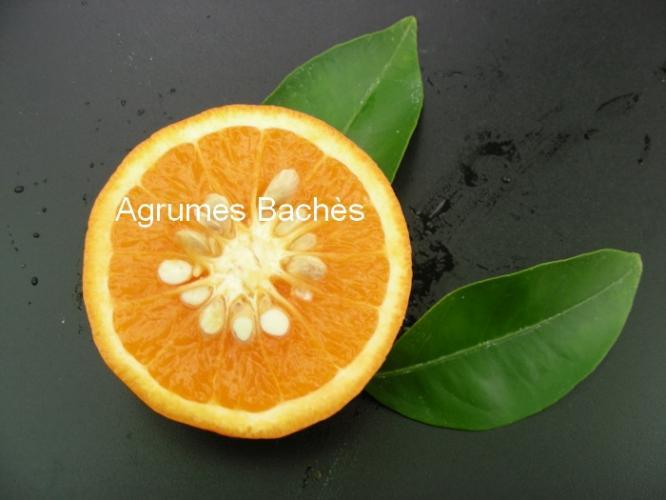 Citrus reticulata  'Tangelo Orlando'