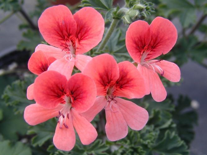 Pelargonium  'Aldebaron'