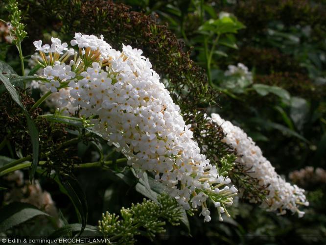 buddleja davidii 39 white profusion 39 arbre aux papillons. Black Bedroom Furniture Sets. Home Design Ideas