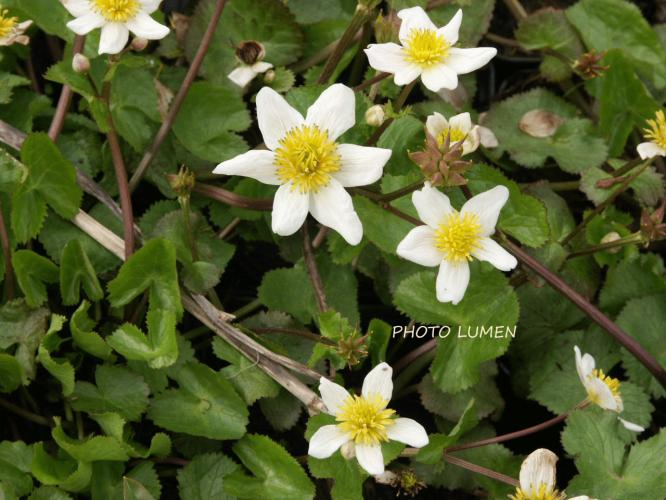 Les plantes > caltha palustris 'alba'