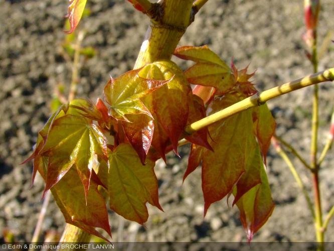 Acer cappadocicum  'Aureum'