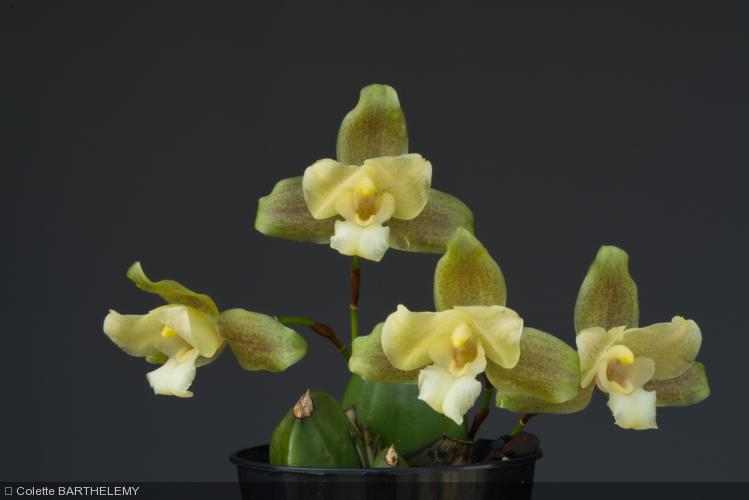 Lycaste  'Ti Punch'