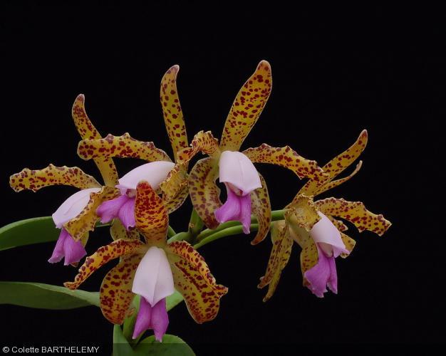 Cattleya leopoldii escura