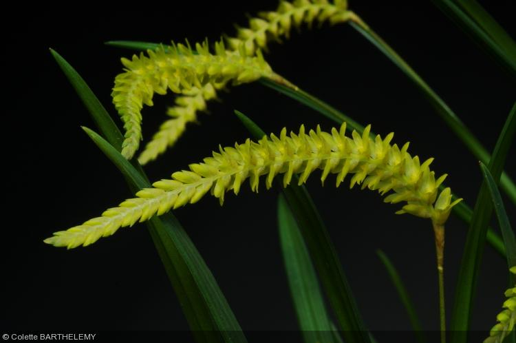 Dendrochilum javieriense
