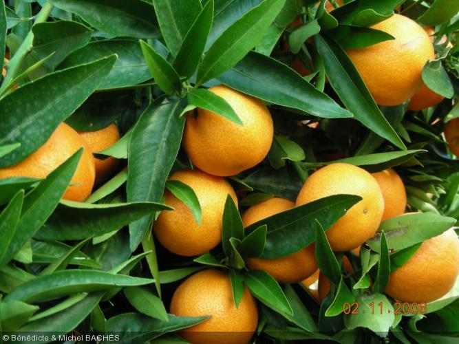 Citrus reticulata  'clementinier'