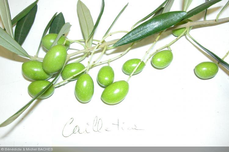 Olea europea  'cailletier'