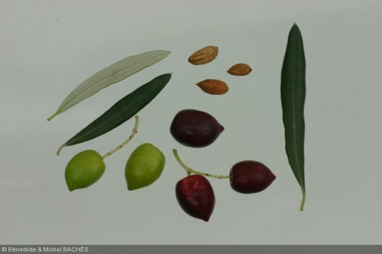 Olea europea  'olivière'