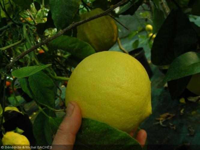 Citrus bergamia  'Mellarosa'
