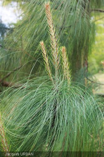 Pinus pseudostrobus