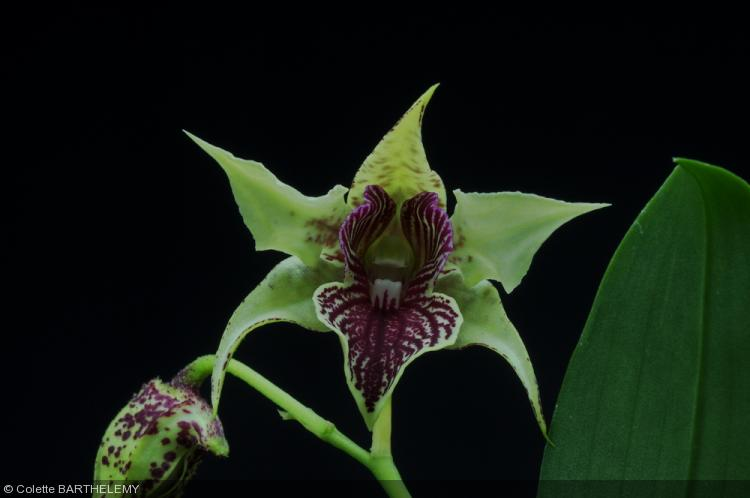 Dendrobium  'La Maripontaine'