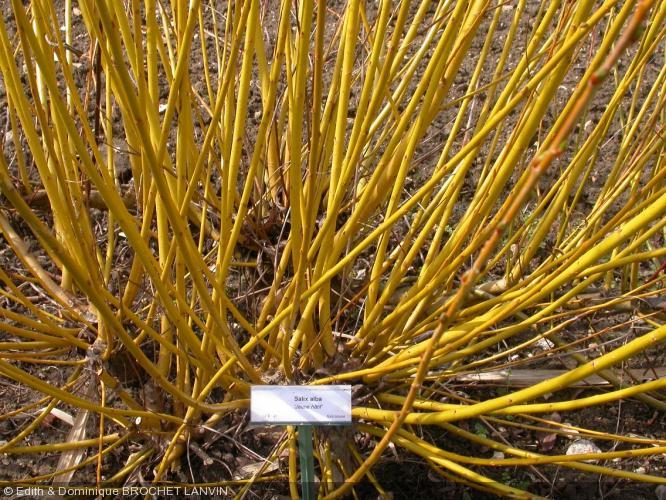 Salix alba  'Jaune Hâtif'