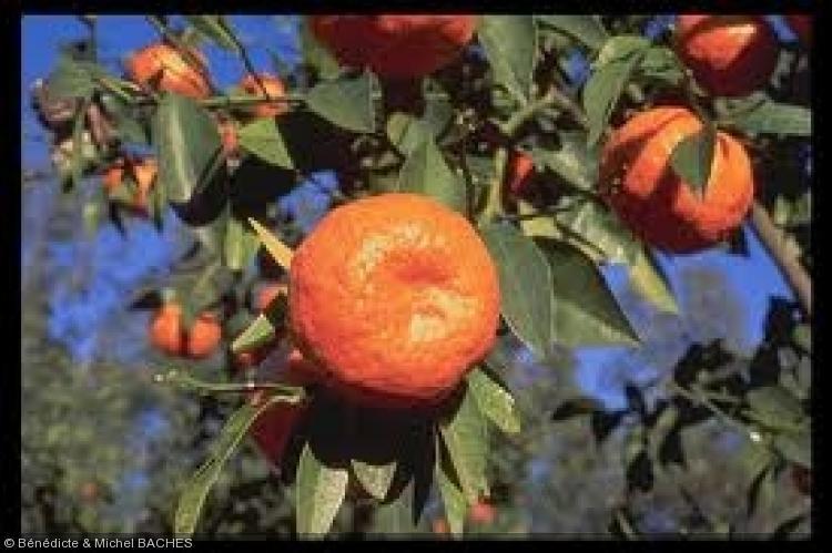 Citrus reticulata  'Changsha'