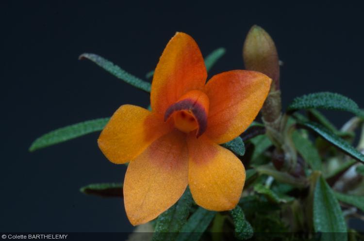 Dendrobium cuthbertsonii  'bicolore'