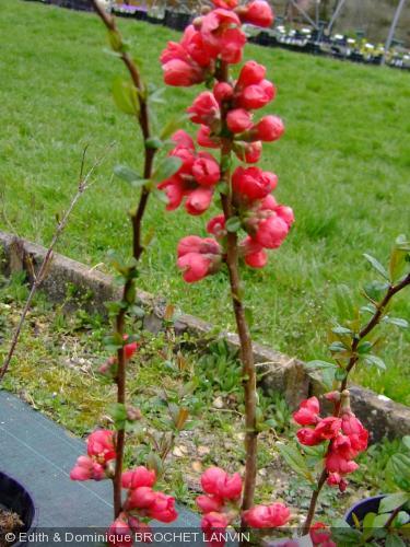 Chaenomeles speciosa 39 rubra grandiflora 39 cognassier du japon - Cognassier du japon taille ...