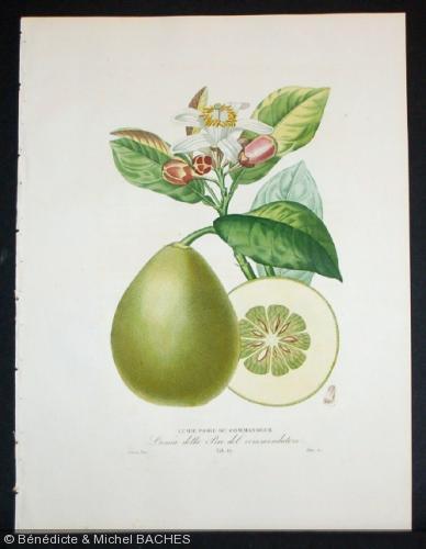 Citrus lumia  'pyriformis'