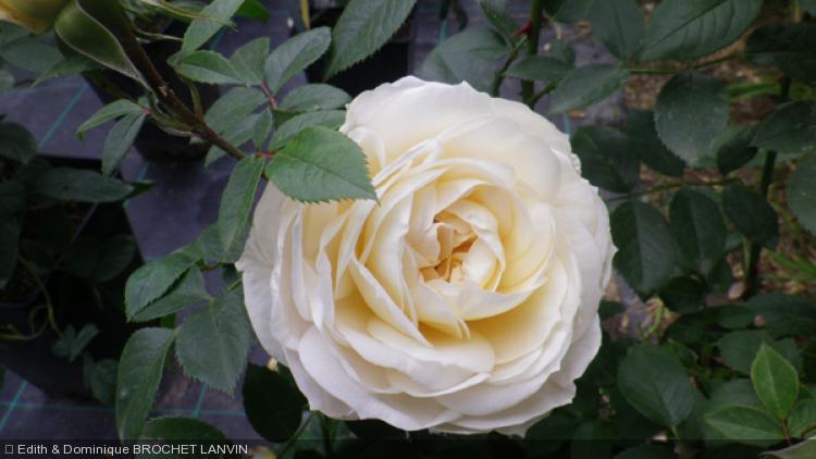 rosa 39 lions rose 39 39 rosier arbustif. Black Bedroom Furniture Sets. Home Design Ideas