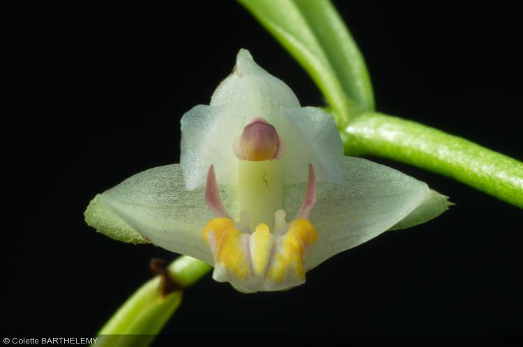 Eria rosea