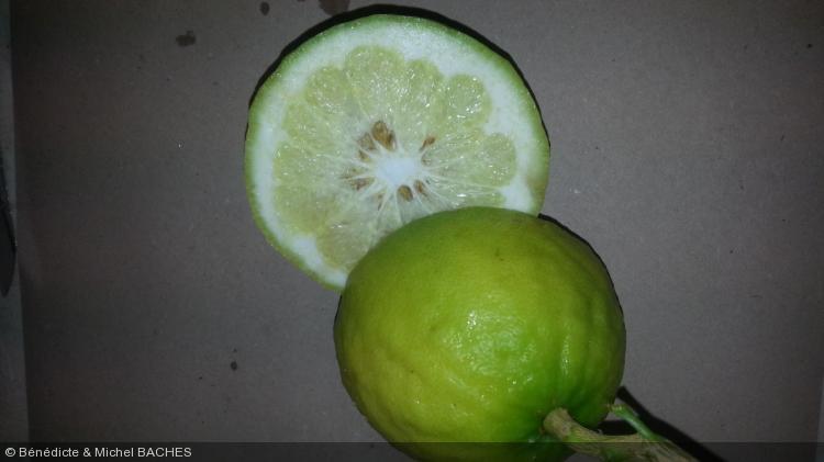 Citrus penivesiculata