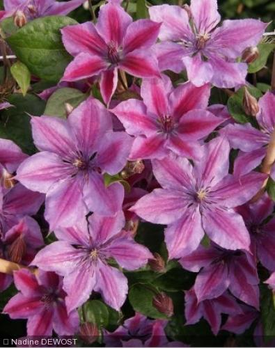 Clematis  'Mon Cherry 'Zomoch'