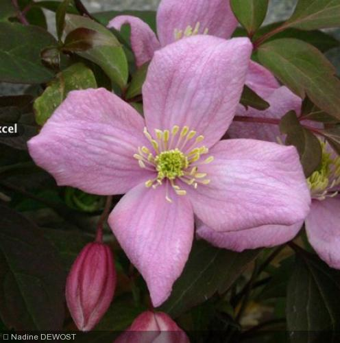 Clematis Montana  'Fragrant Spring'