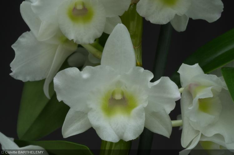 Dendrobium  'Spring Dream 'Apollon'
