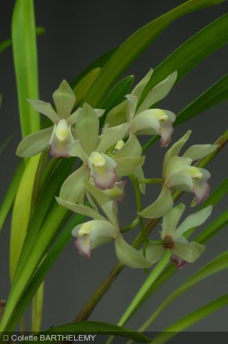 cymbidium vogelsang achat vente la canop e orchid es. Black Bedroom Furniture Sets. Home Design Ideas