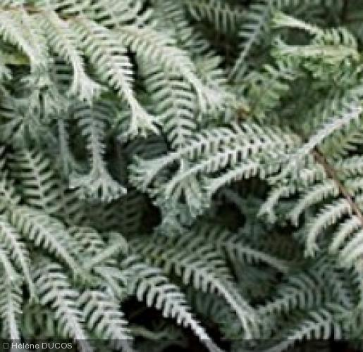 athyrium niponicum 39 ocean 39 s fury 39 foug re d 39 ext rieur. Black Bedroom Furniture Sets. Home Design Ideas