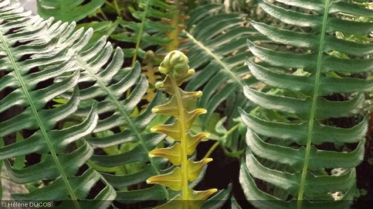 Blechnum  appendiculatum Willd
